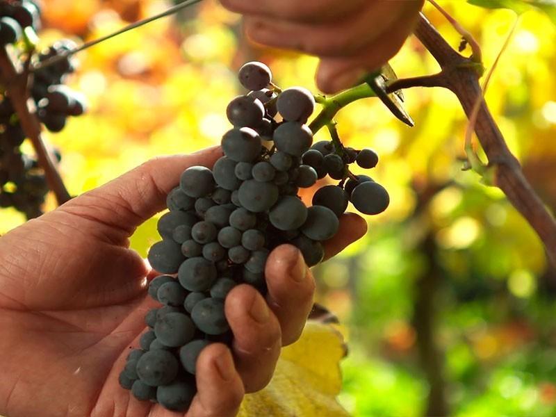 Weinlese bei den Benediktinermönchen in Goseck: hier wachsen feinste Trauben